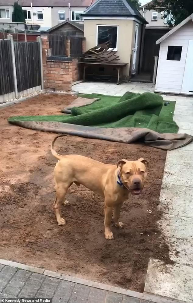 dog tore up artificial turf not held in place by artificial turf border